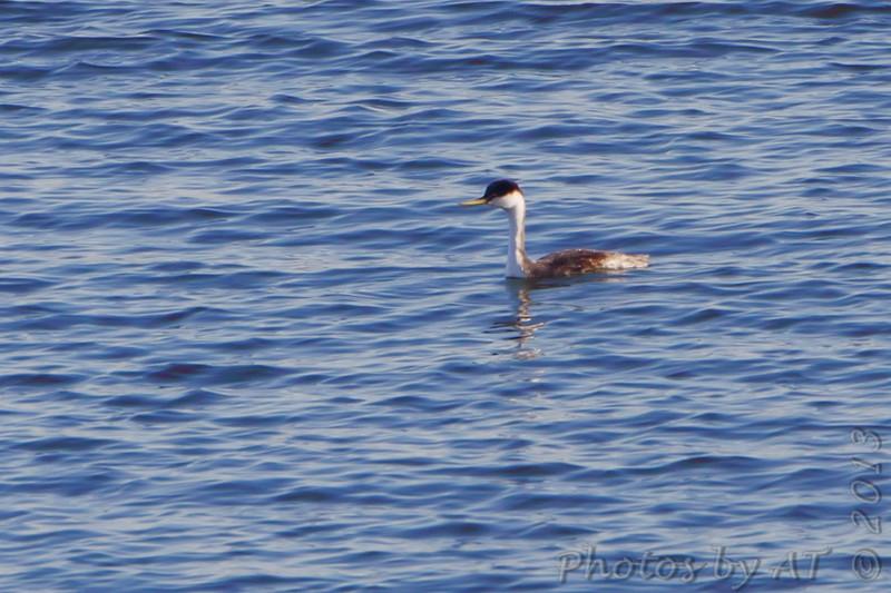 Western Grebe <br /> Smithville lake