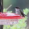 Ruby-throated Hummingbird <br> (verified by bander) <br> City of Webster Groves <br> St. Louis County, Missouri  <br> 22 Nov 2013