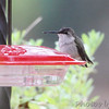 Ruby-throated Hummingbird <br> (verified by bander) <br> Webster Groves, MO <br> 22 Nov 2013