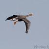 Greater White-fronted Goose <br /> Ellis bay <br /> Riverlands Migratory Bird Sanctuary