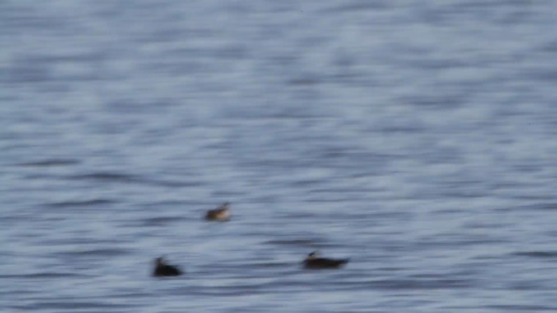 """Surf Scoters <br> Ellis Bay <br> Riverlands Migratory Bird Sanctuary<br><br><span class=""""noShowSmart""""> <a href=""""/MyKeywords/Bird-Videos/n-gF9bt/i-TngJkKM/A""""> <span style=""""color:yellow"""">Click here to open video in lightbox/full screen</span></a> <br><br></span>  <span class=""""noShowGallery""""> <a href=""""/Birds/Birding-2013-October/2013-10-13-RMBS/i-TngJkKM/A""""> <span style=""""color:yellow"""">Click here to open video in lightbox/full screen</span></a> </span>"""
