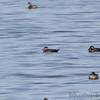 Surf Scoters<br /> Ellis Bay<br /> Riverlands Migratory Bird Sanctuary