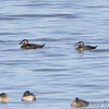 Surf Scoters<br /> Ellis Bay<br /> Riverlands Migratory Bird Sanctuary