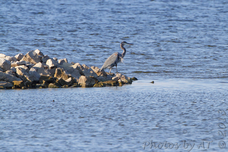 Great Blue Heron  <br /> Teal Pond <br /> Riverlands Migratory Bird Sanctuary