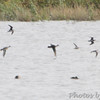 I see four birds that look like Dowitchers <br /> Heron Pond <br /> Riverlands Migratory Bird Sanctuary