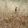 Northern Harrier <br /> Heron Pond <br /> Riverlands Migratory Bird Sanctuary
