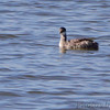 Red-necked Grebe<br /> Teal Pond<br /> Riverlands Migratory Bird Sanctuary