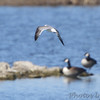 Franklin's Gull <br /> Teal Pond <br /> Riverlands Migratory Bird Sanctuary