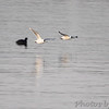 Franklin's Gulls <br /> Ellis Bay <br /> Riverlands Migratory Bird Sanctuary