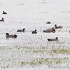 Gadwall and American Coot  <br /> Heron Pond <br /> Riverlands Migratory Bird Sanctuary