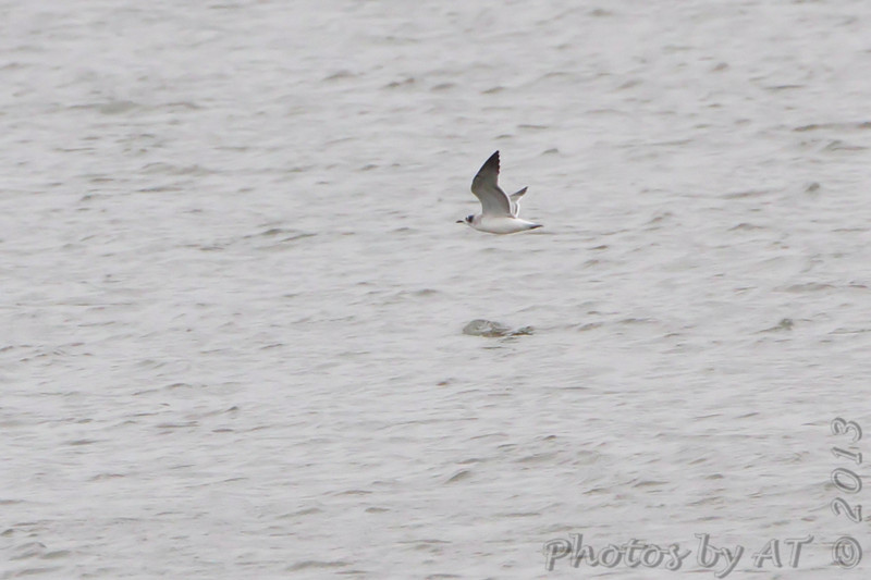 Franklin's Gull <br /> Riverlands Migratory Bird Sanctuary