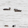 American Black Duck <br /> Heron Pond <br /> Riverlands Migratory Bird Sanctuary