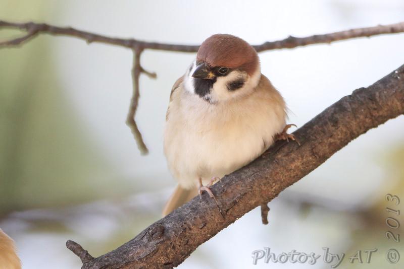 Eurasian Tree Sparrow <br /> City of Bridgeton S<br /> t. Louis County, Missouri <br /> 2013-10-23