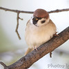 Eurasian Tree Sparrow <br /> City of Bridgeton S<br /> t. Louis County, Missouri <br /> 2013-10-23