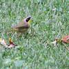 Common Yellowthroat <br /> City of Bridgeton <br /> St. Louis County, Missouri <br /> 2013-10-06