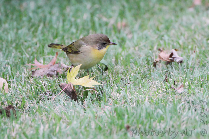 Common Yellowthroat <br /> City of Bridgeton <br /> St. Louis County, Missouri <br /> 2013-10-06