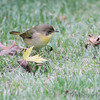 Common Yellowthroat <br /> Bridgeton, MO <br /> 2013-10-06