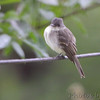 Eastern Phoebe <br /> City of Bridgeton <br /> St. Louis County, Missouri <br /> 10/29/2013