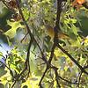 Orange-crowned Warbler <br /> City of Bridgeton <br /> St. Louis County, Missouri <br /> 10/16/13