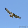 Red-tailed Hawk <br /> City of Bridgeton <br /> St. Louis County, Missouri <br /> 2013-10-12