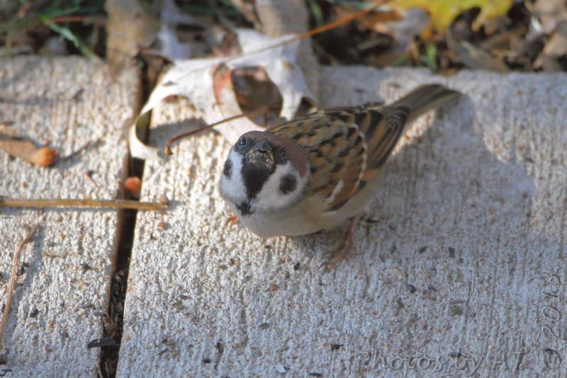 Eurasian Tree Sparrow <br /> City of Bridgeton <br /> St. Louis County, Missouri <br /> 2013-10-23
