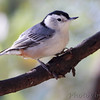 White-breasted Nuthatch <br /> City of Bridgeton <br /> St. Louis County, Missouri <br /> 2013-10-18