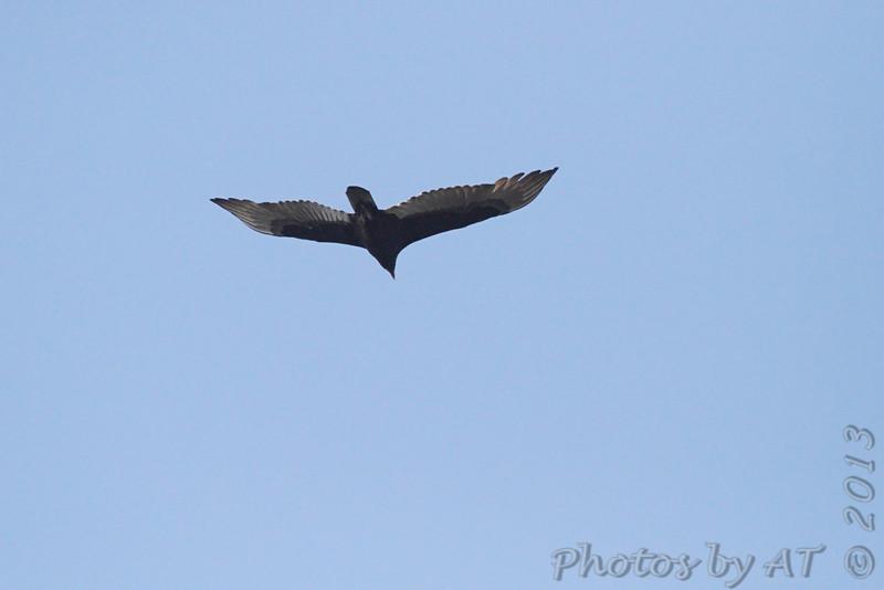 Turkey Vulture <br /> Bridgeton, MO <br /> 10/16/13