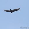 Turkey Vulture <br /> City of Bridgeton <br /> St. Louis County, Missouri <br /> 10/16/13