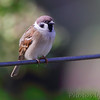 Eurasian Tree Sparrow <br /> Bridgeton, MO <br /> 2013-10-18