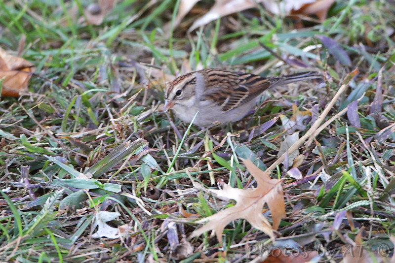Chipping Sparrow <br /> City of Bridgeton <br /> St. Louis County, Missouri <br /> 2013-10-23