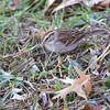 Chipping Sparrow <br /> City of Bridgeton <br /> St. Louis County, Missouri <br /> 2013-10-23
