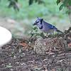 Blue Jay <br /> City of Bridgeton <br /> St. Louis County, Missouri <br /> 10/16/13
