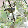 Ruby-crowned Kinglet <br /> City of Bridgeton <br /> St. Louis County, Missouri <br /> 10/18/2013