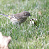 Yellow-rumped Warbler <br /> City of Bridgeton <br /> St. Louis County, Missouri <br /> 2013-10-18