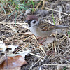 Eurasian Tree Sparrow <br /> City of Bridgeton <br /> St. Louis County, Missouri <br /> 2013-10-23