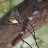 Blue-headed Vireo <br /> City of Bridgeton <br /> St. Louis County, Missouri <br /> 10/12/13