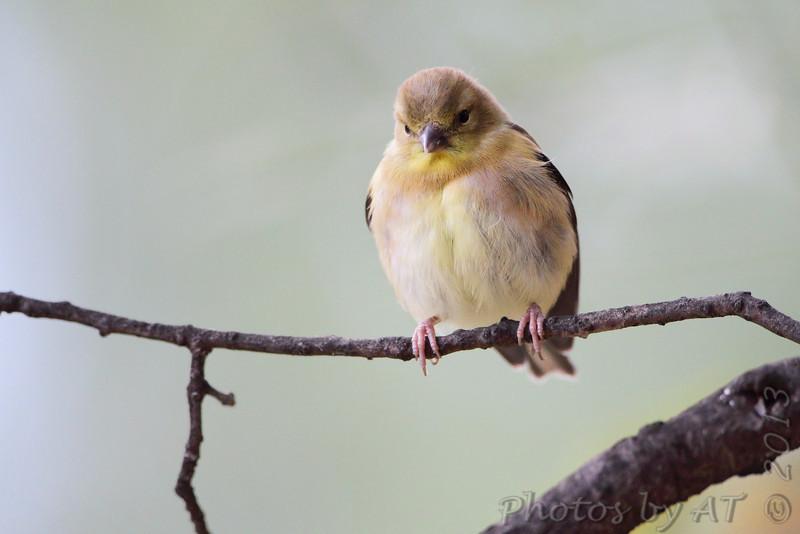 American Goldfinch <br /> City of Bridgeton <br /> St. Louis County, Missouri <br /> 2013-10-18