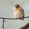 American Goldfinch <br /> City of Bridgeton <br /> St. Louis County, Missouri <br /> 2013-10-18