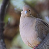 Mourning Dove <br /> City of Bridgeton <br /> St. Louis County, Missouri <br /> 10/18/2013