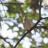 Golden-crowned Kinglet <br /> City of Bridgeton <br /> St. Louis County, Missouri <br /> 10/16/13
