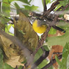 Nashville Warbler <br /> City of Bridgeton <br /> St. Louis County, Missouri <br /> 10/12/13