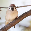 Eurasian Tree Sparrow <br /> Bridgeton, MO <br /> 2013-10-23