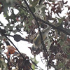 Yellow-rumped Warbler <br /> City of Bridgeton <br /> St. Louis County, Missouri <br /> 10/16/13