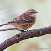Yellow-rumped Warbler <br /> City of Bridgeton <br /> St. Louis County, Missouri <br /> 2013-10-21