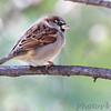 House Sparrow <br /> Bridgeton, MO <br /> 2013-10-18