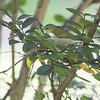 Tennessee warbler <br /> City of Bridgeton <br /> St. Louis County, Missouri <br /> 2013-10-18
