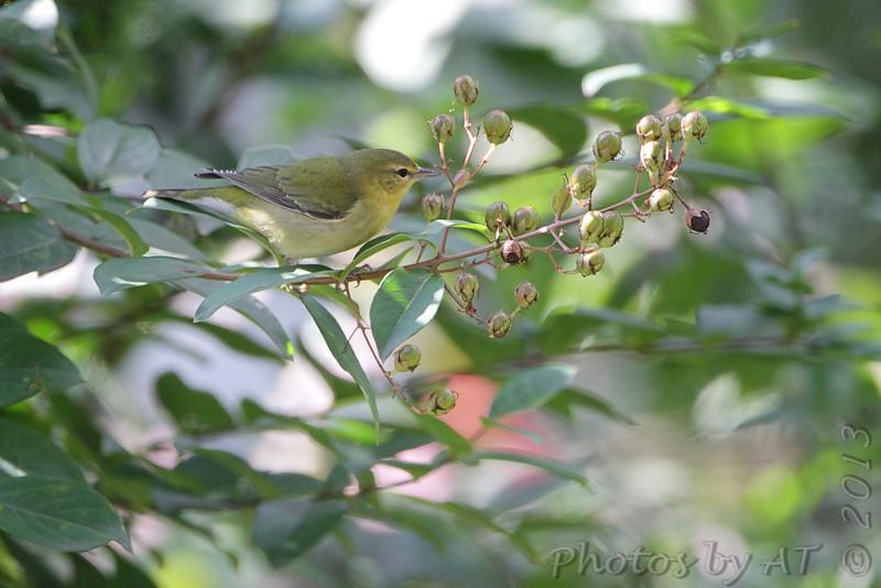 Tennessee warbler <br /> Bridgeton, MO <br /> 2013-10-18