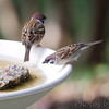 Eurasian Tree Sparrows <br /> Bridgeton, MO <br /> 2013-10-18
