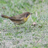 Common Yellowthroat <br /> Bridgeton, MO<br /> 2013-10-06