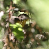 Common Yellowthroat <br /> Pin Oak  <br /> Lake of the Ozarks State Park <br /> 2013-09-29